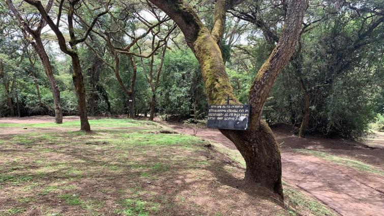 Ein christlicher Baum? In einem Kirchenwald bei Addis Abeba (Deutschlandradio / Susanne Lettenbauer)