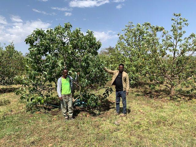 Zu Besuch bei Avocadobauern Nordäthiopien